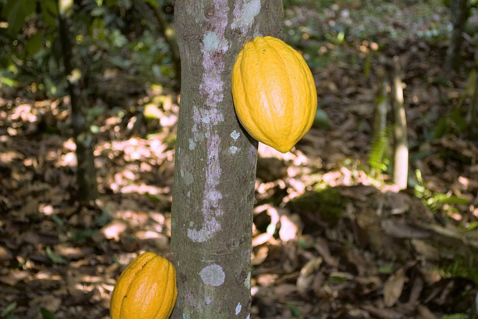 Kakaovac biljka i plod kakao